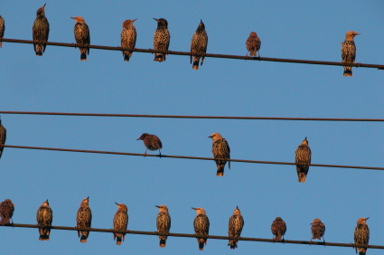 birds-on-a-wire2